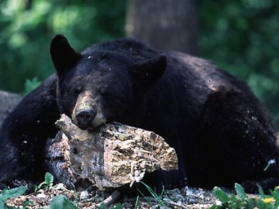 bear_hibernating_lg